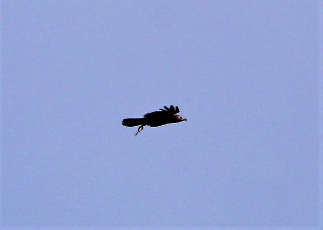 ハチクマ1