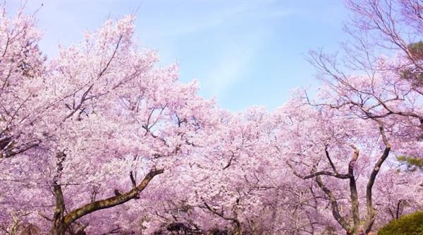 韓国では桜も花見の風習も「韓国オリジナル」という主張が繰り返されている。なぜ韓国では「桜の原産地=韓国説」にこだわり続けるのか?