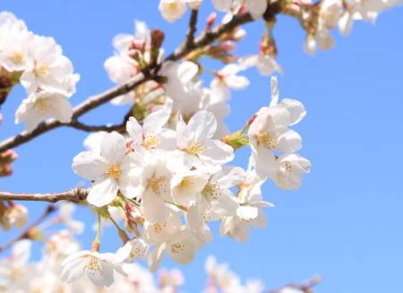 桜 花見 韓国 文化 コリエイト 韓国起源説