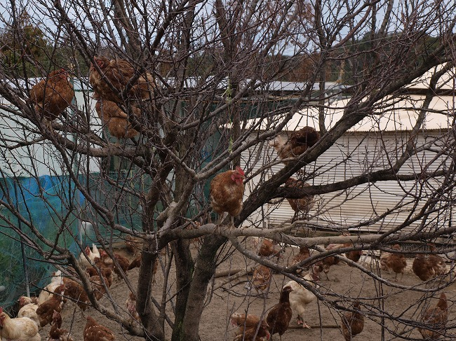 木の上に上るニワトリ