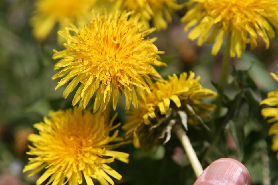 ブログ 西洋タンポポ? 2011.4.26 野の花(希少野生植物) 007.jpg