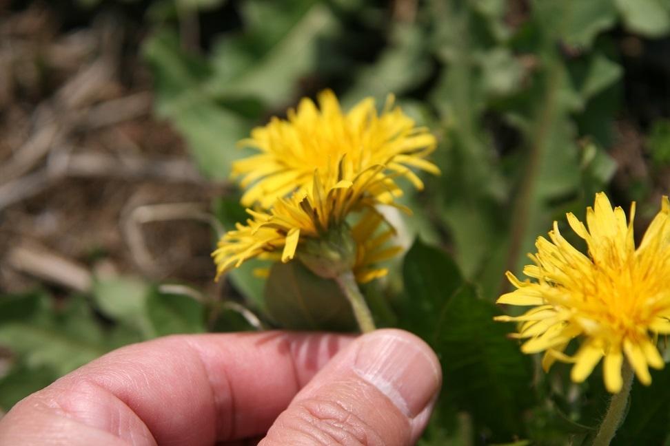 ブログ 日本タンポポ? 2011.4.26 野の花(希少野生植物) 002.jpg