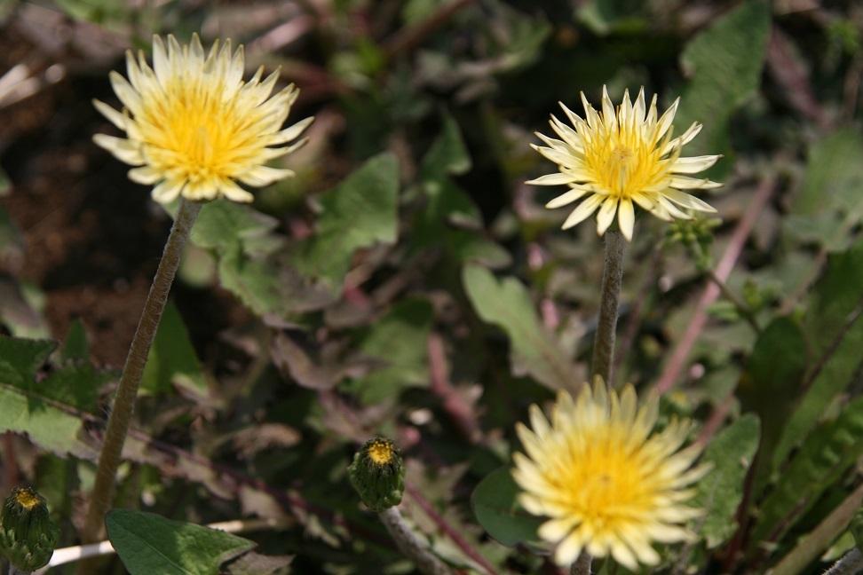 ブログ シロバナタンポポ? 2011.4.26 野の花(希少野生植物) 005.jpg