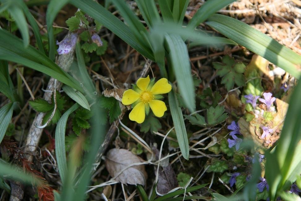 ブログ ヘビイチゴ ? 2011.4.26 野の花(希少野生植物) 026.jpg