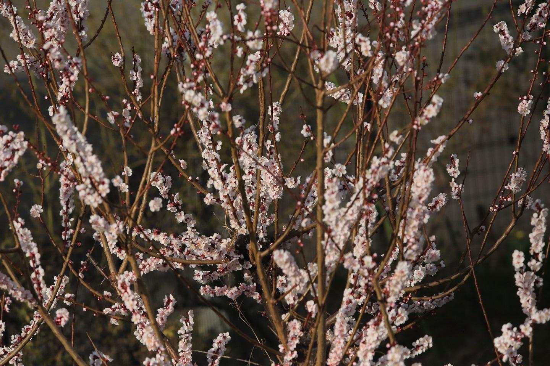 ブログ 満開の梅の花.jpg