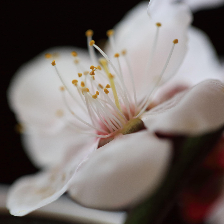 ブログ 梅の花.jpg