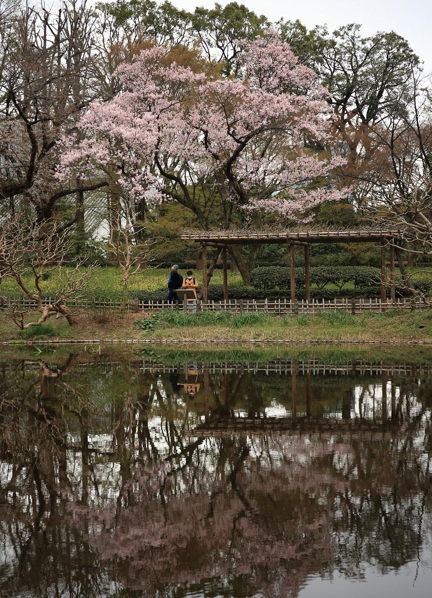 ブログ 桜の水鏡.jpg