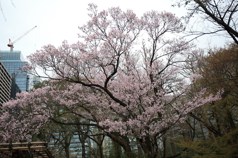 ブログ 桜咲く(彼岸桜かな?).jpg