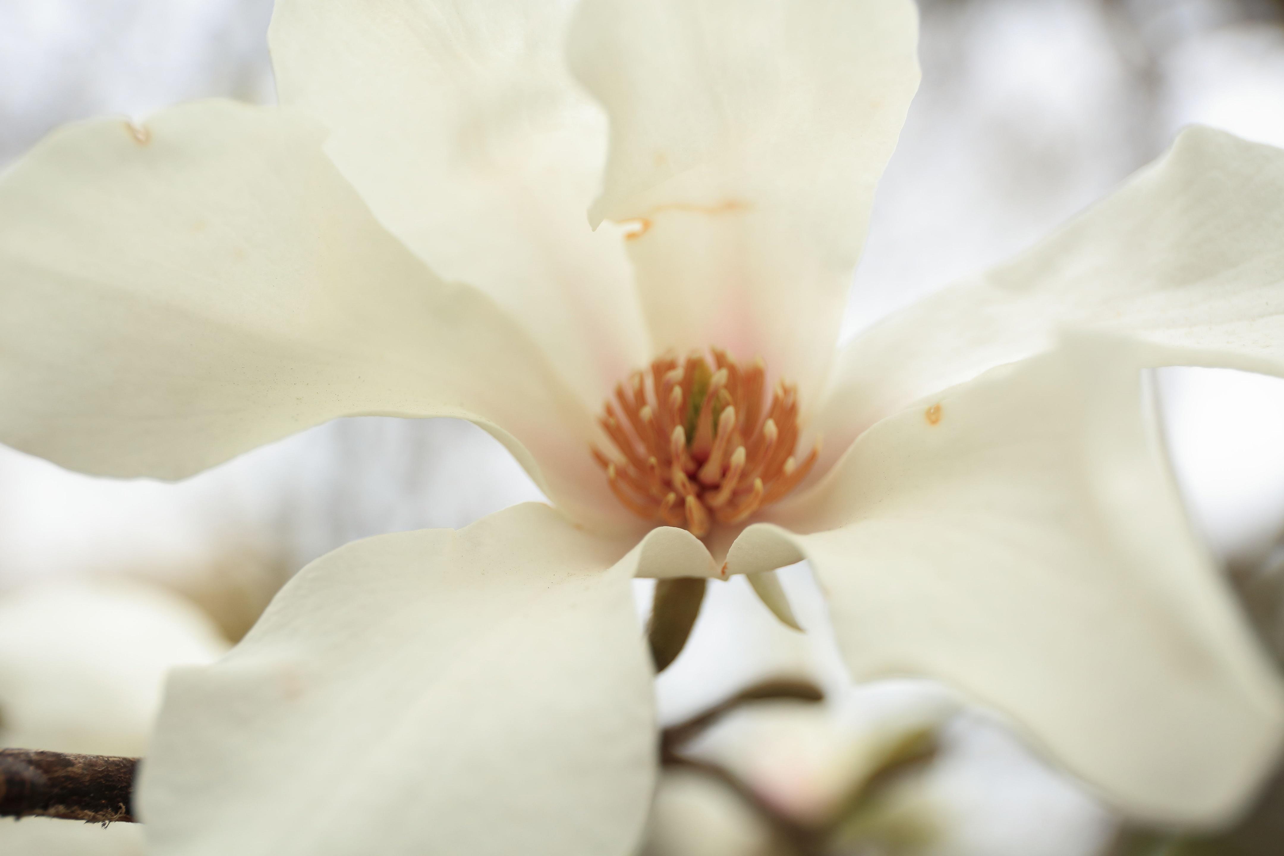 ブログ コブシの花.jpg