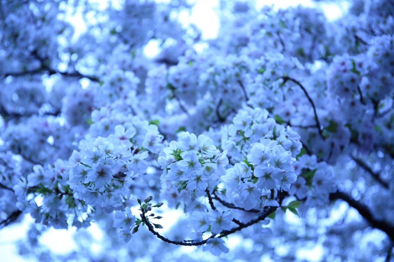 ブログ 桜 ホワイトバランスをいじってね.jpg