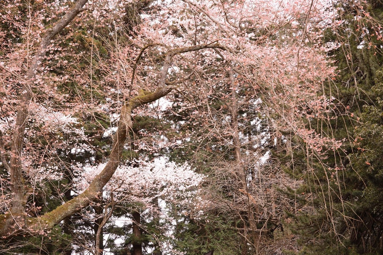 ブログ マゼンタ系をいじって桜を出したよ.jpg