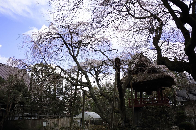 ブログ まだ早かりし西行桜.jpg