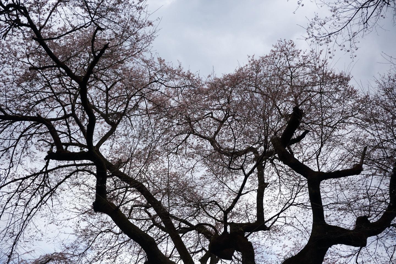 ブログ 曇り空に二分咲きでは.jpg