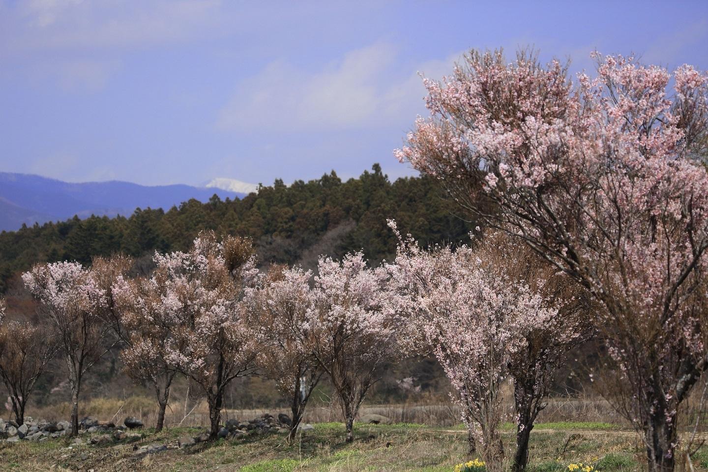 ブログ 桜堤と残雪の山.jpg