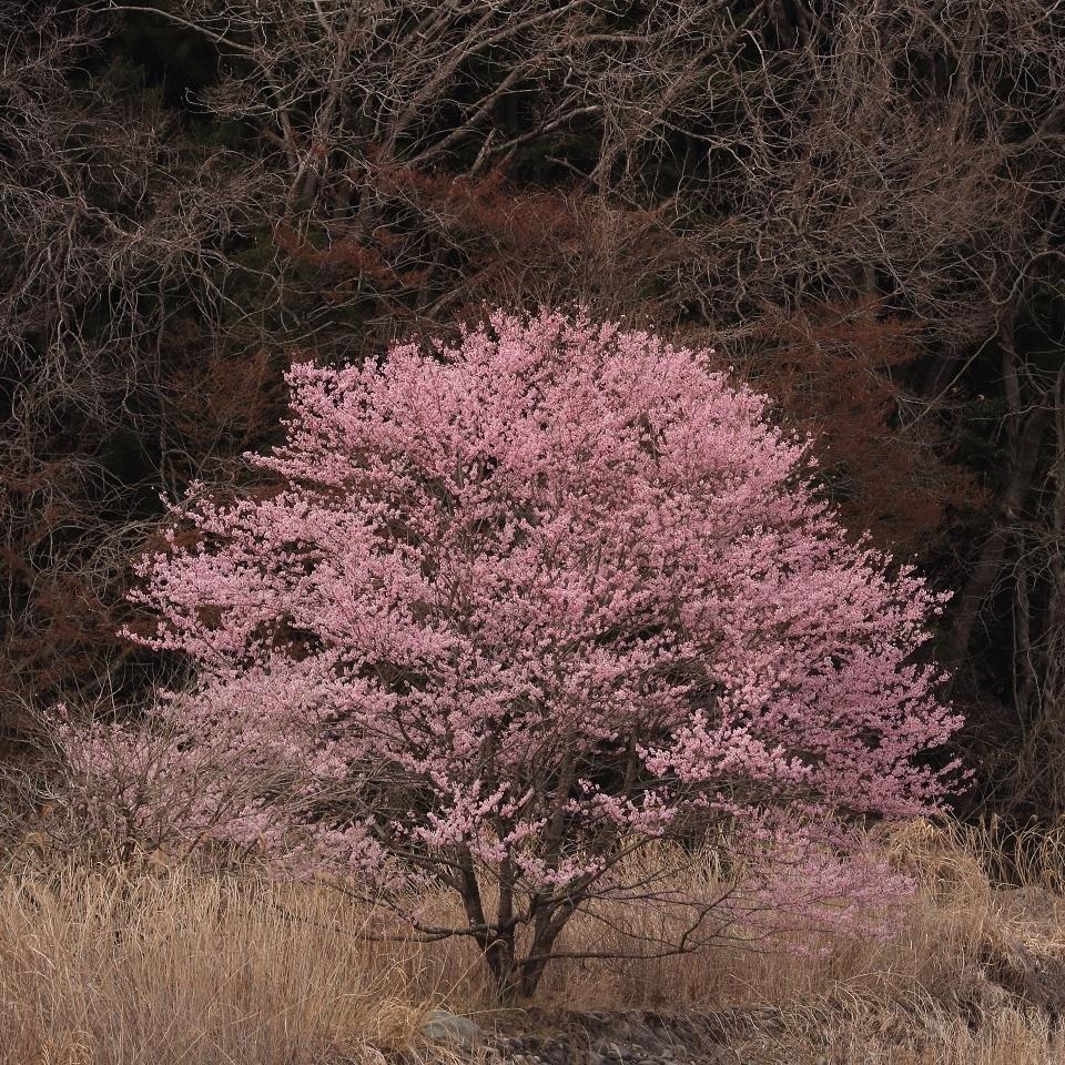 ブログ 河原の一本桜 1.jpg