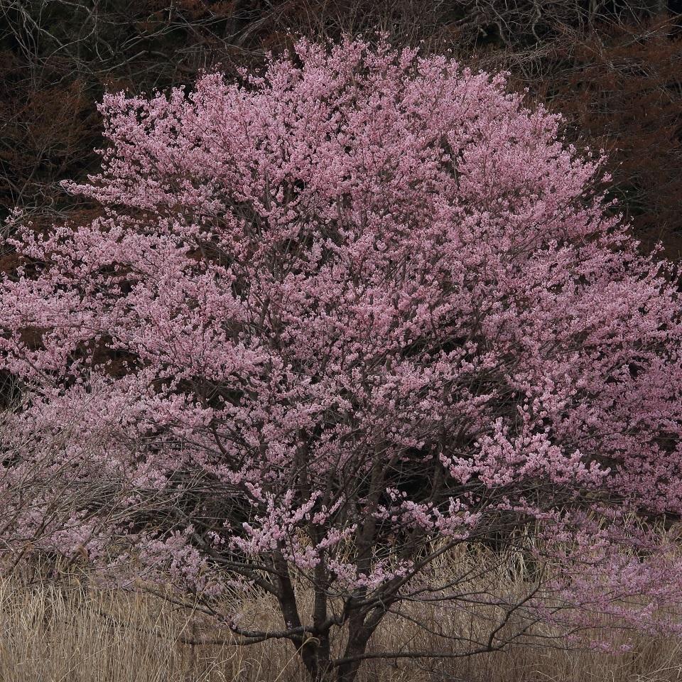 ブログ 河原の一本桜 2.jpg