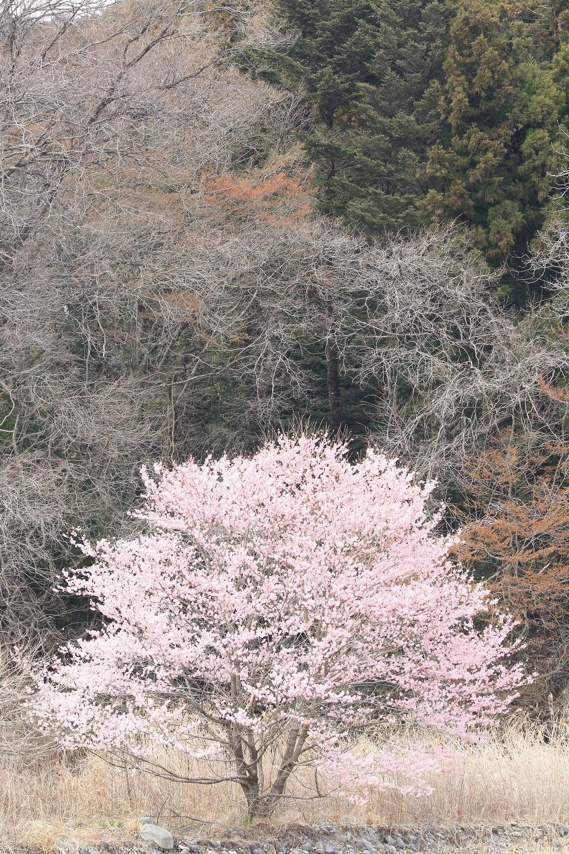 ブログ 河原の桜  3.jpg