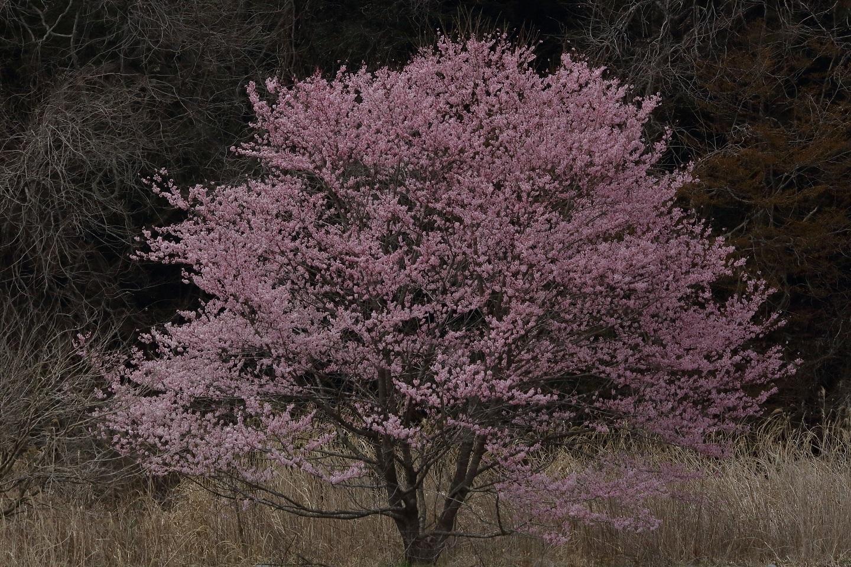 ブログ 河原の桜 4.jpg