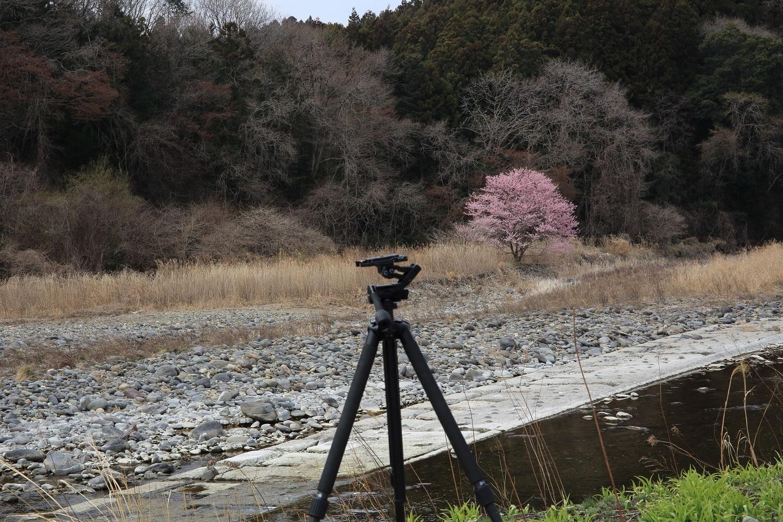 ブログ これが河原の桜の撮影.jpg