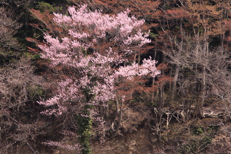 ブログ がけにさく山桜.jpg