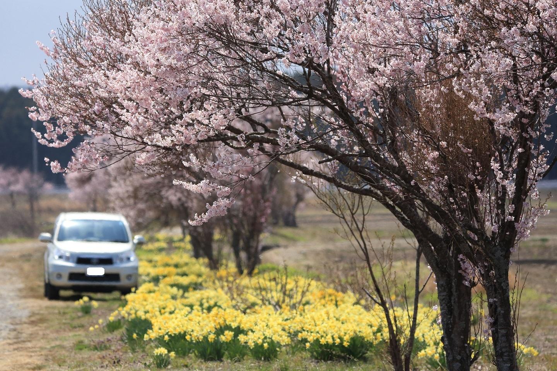 ブログ 1人花見の堤桜と水仙.jpg