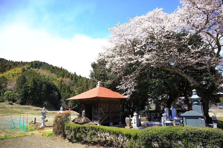 ブログ 山間部のお堂にある桜.jpg