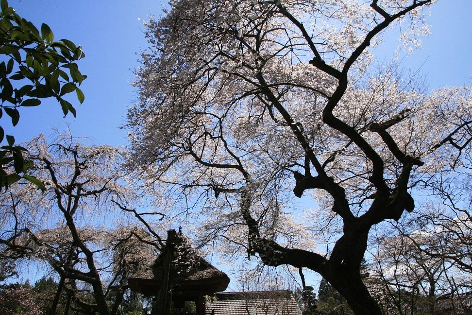 ブログ 西行桜.jpg
