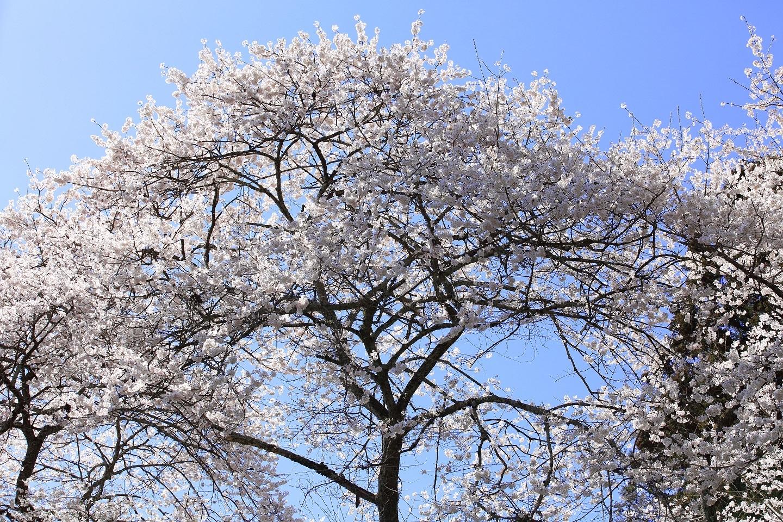 ブログ 西行桜の天辺.jpg