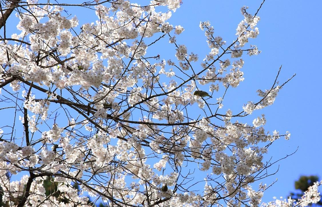 ブログ メジロが4羽と西行桜.jpg