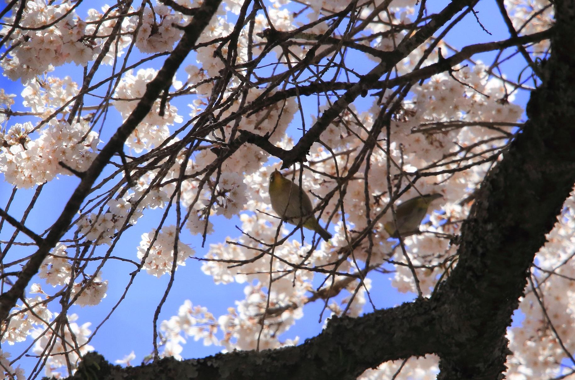 ブログ 西行桜とメジロさん.jpg