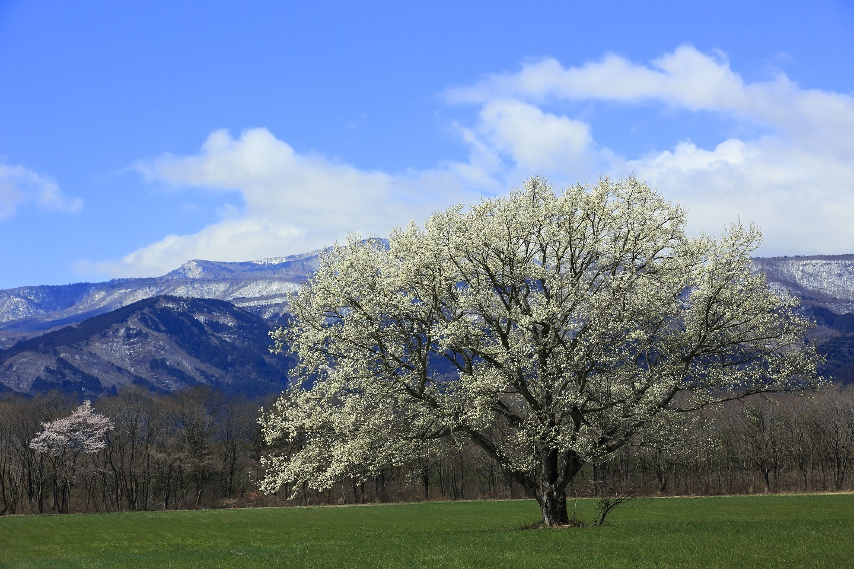 ブログ コブシと桜.jpg