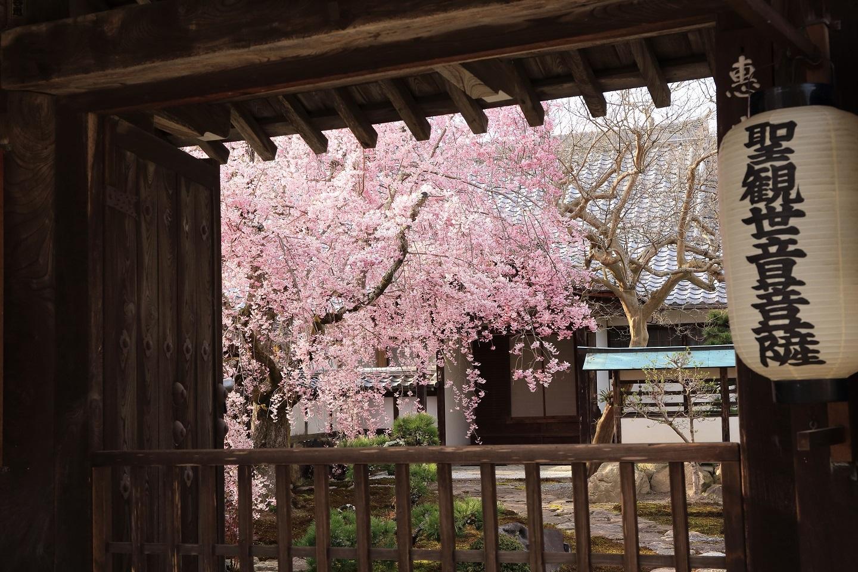 ブログ 坂本の寺の桜.jpg