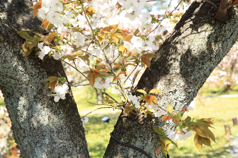 ブログ 二条城の桜.jpg