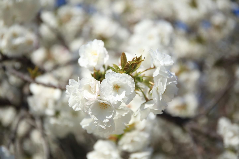 ブログ 八重桜がお出迎え.jpg