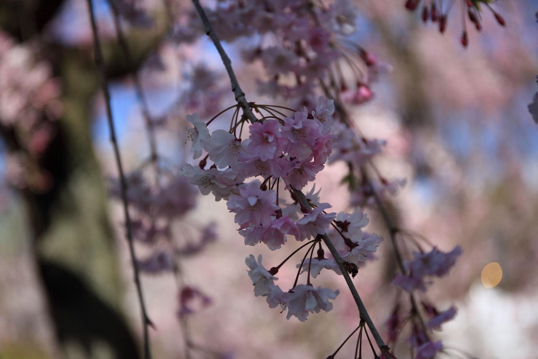 ブログ 二条城の桜 2.jpg
