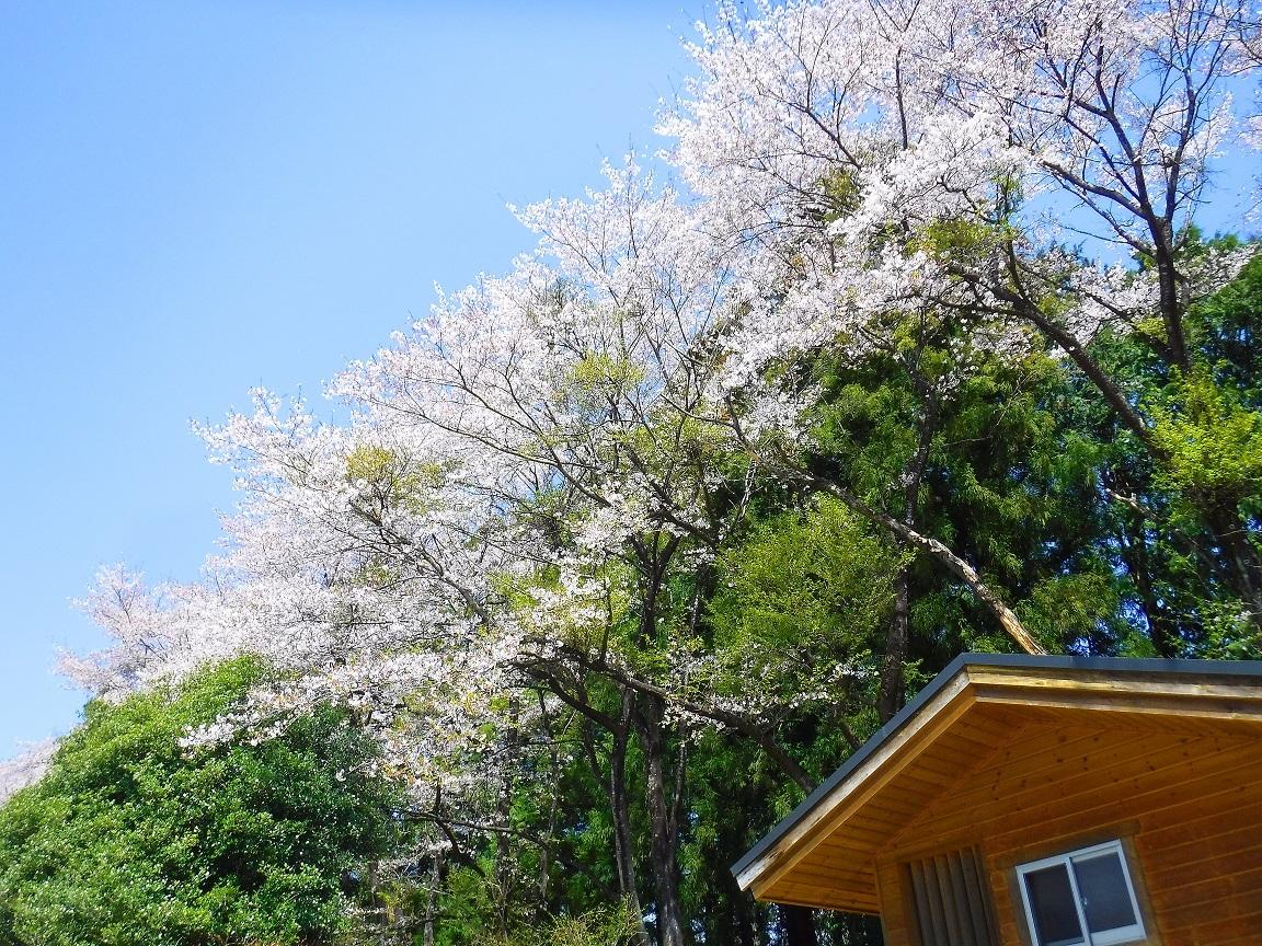 ブログ ゴルフ場の桜の良い感じ.jpg