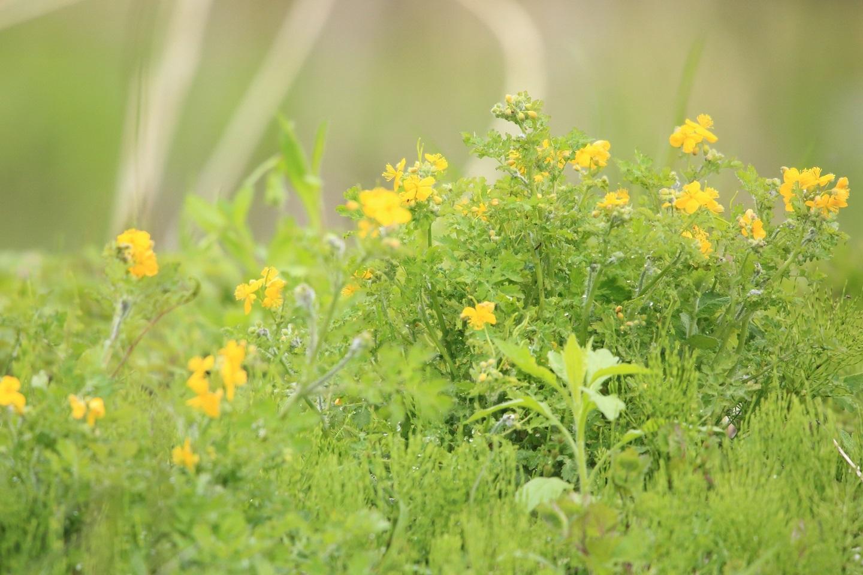 ブログ 黄色い土手の花.jpg