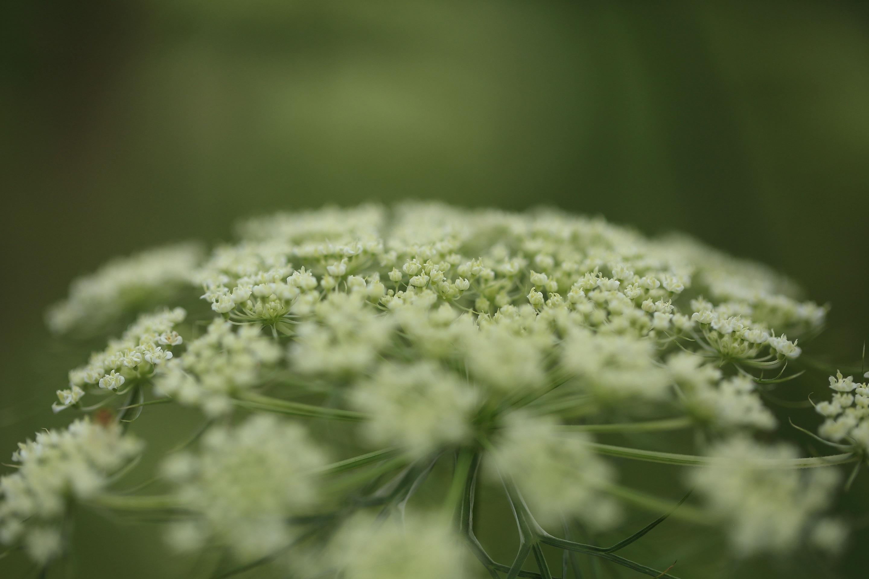 ブログ  ニンジンの花 横向き.jpg