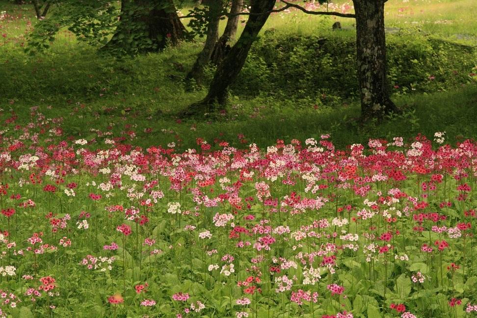ブログ クリンソウの花々.jpg