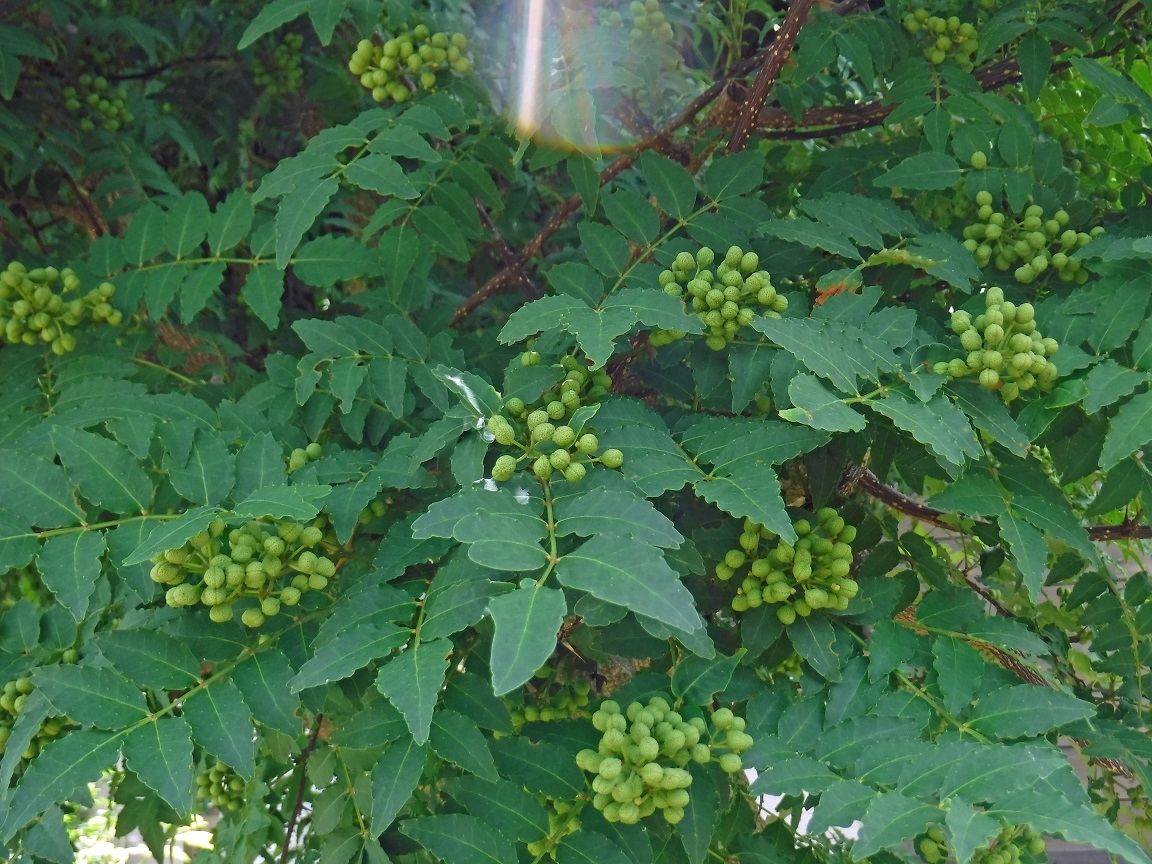 ブログ そろそろ山椒の実を収穫時期です.jpg