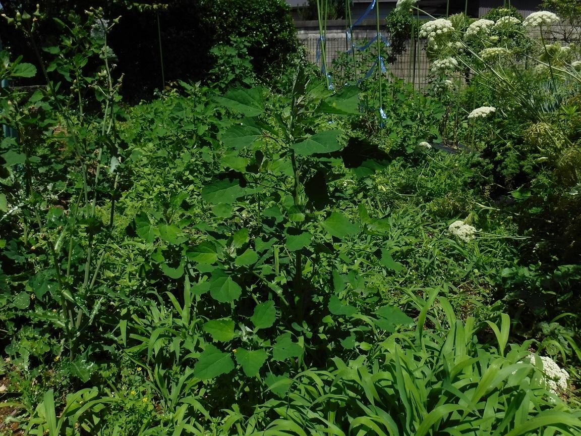 ブログ 菜園の雑草 前.jpg