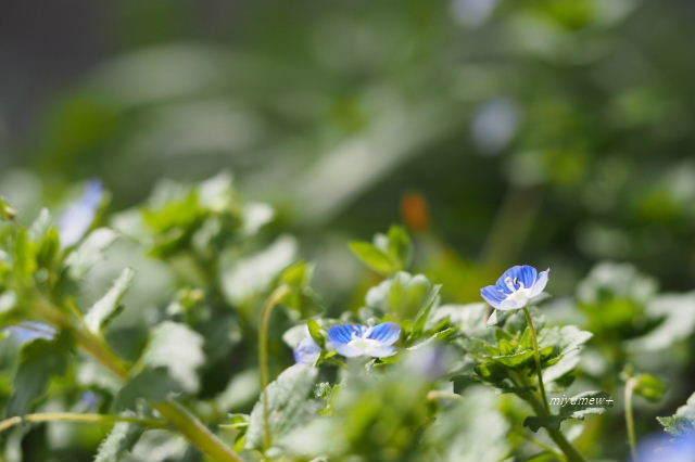 青い小花190323