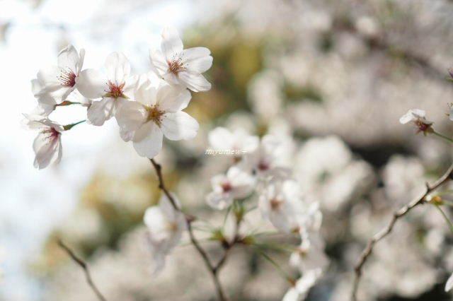 桜フィーバー190406