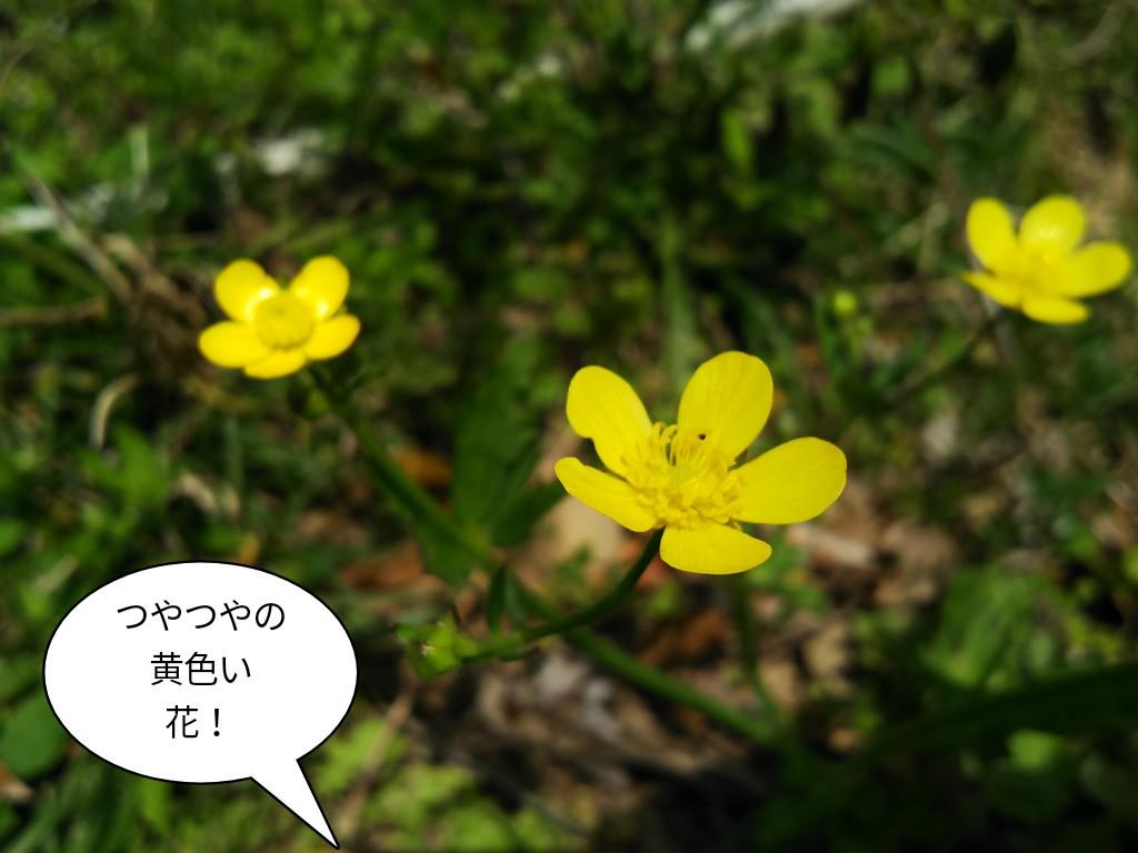 つやつやの黄色い花!
