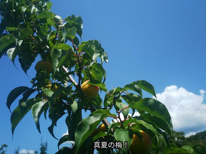 真夏の梅!