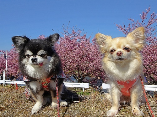 葵桜のお花見です♪