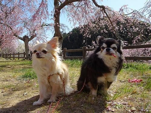 しだれ桜の公園で♪