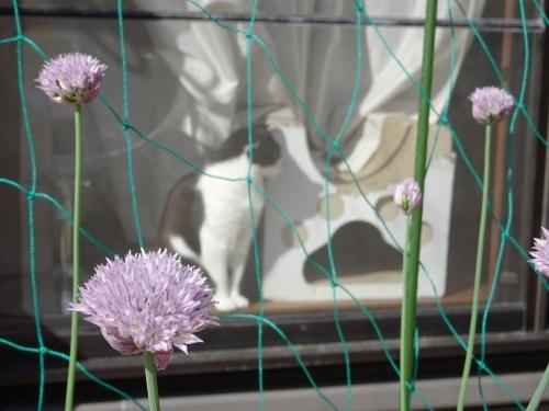 しぐれとアサツキの花