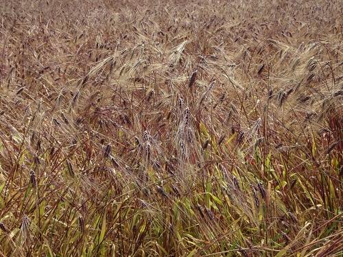 むらさき麦の里