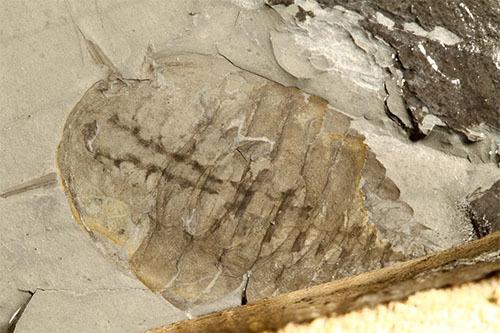 中国でカンブリア紀の新たな化石群が発見されました